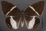 Telchin licus M dorsal habitus cmz2