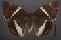Telchin licus N dorsal habitus cmz3
