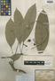 Barringtonia longipes Gagnep., VIETNAM, L. Pierre 1307, Isotype, F