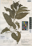 Psidium ovatifolium var. glabrum Amshoff, BRITISH GUIANA [Guyana], A. C. Smith 2253, Isotype, F