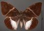 Telchin atymnius futilis A dorsal habitus