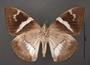 Telchin atymnius futilis A ventral habitus cmz2