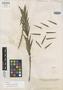 Dendrobium elmeri Ames, PHILIPPINES, A. D. E. Elmer 9249, Isotype, F