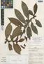 Drymonia anisophylla L. E. Skog & L. P. Kvist, PERU, J. Schunke Vigo 2471, Isotype, F