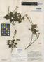 Salvia areolata Epling, GUATEMALA, J. A. Steyermark 50338, Holotype, F
