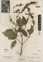 Salvia curtiflora Epling, GUATEMALA, A. F. Skutch 1972, Isotype, F