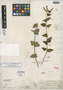 Salvia disjuncta Fernald, MEXICO, A. B. Ghiesbreght 753, Isolectotype, F