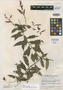 Salvia grandis Epling, GUATEMALA, J. A. Steyermark 43047, Isotype, F