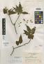 Salvia infuscata Epling, MEXICO, E. Matuda 2009, Isotype, F