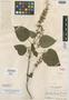 Salvia myriantha Epling, GUATEMALA, A. F. Skutch 1971, Isotype, F
