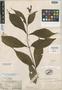 Salvia pansamalensis Donn. Sm., GUATEMALA, H. von Türckheim 933, Isotype, F