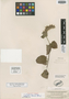 Salvia reducta Epling, Guatemala, W. C. Shannon 260, Isotype, F