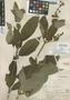 Salvia siguatepequensis Standl., Honduras, P. C. Standley 55917, Holotype, F