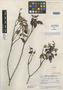 Salvia sparsiflora Epling, GUATEMALA, J. A. Steyermark 51740, Holotype, F