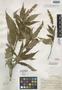 Salvia tonalensis Brandegee, MEXICO, C. A. Purpus 7006, Isotype, F