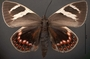 Castnia eudesmia D dorsal habitus