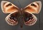 Castnia eudesmia D ventral habitus cmz7