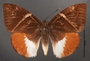 Telchin atymnius drucei B dorsal habitus
