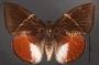 Telchin atymnius drucei C dorsal habitus
