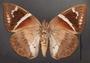 Telchin atymnius drucei C ventral habitus