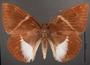 Telchin atymnius futilis C dorsal habitus