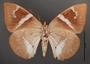 Telchin atymnius futilis C ventral habitus