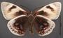 Castnia eudesmia A ventral habitus