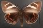 Castnia eudesmia B dorsal habitus