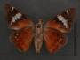 Feschaeria amycus ventral habitus