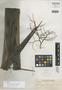 Livistona rotundifolia var. luzonensis Becc., PHILIPPINES, A. D. E. Elmer 9293, Isotype, F