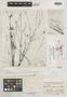 Bidens acuticaulis Sherff, ANGOLA, J. Gossweiler 4052, Isotype, F