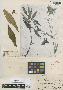Bidens somaliensis Sherff, SOMALIA, D. Riva 85 [field no. 1306], Isotype, F