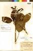 Vaupesia cataractarum R. E. Schult., COLOMBIA, R. E. Schultes 14006, Isotype, F