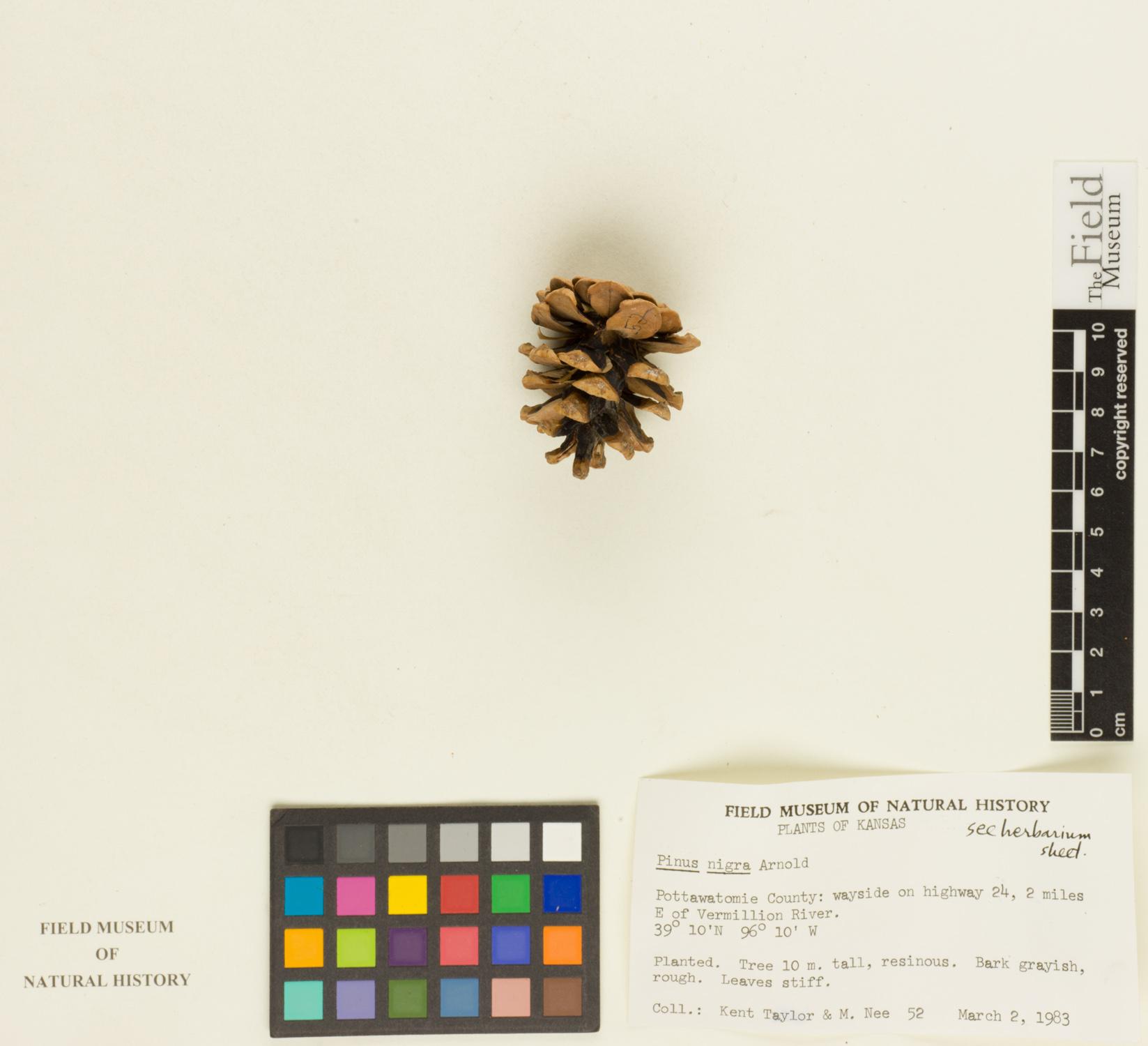 Pinus nigra image