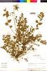 Flora of the Lomas Formations: Erodium moschatum (L.) L'Hér. ex Aiton, Peru, M. O. Dillon 3615, F