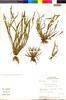 Sisyrinchium micranthum image