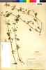 Hyptis sidifolia image