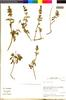 Flora of the Lomas Formations: Salvia gilliesii Benth., Chile, M. O. Dillon 5874, F