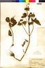 Flora of the Lomas Formations: Salvia rhombifolia Ruíz & Pav., Peru, J. F. Macbride 5909, F