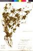 Flora of the Lomas Formations: Salvia tubiflora Ruíz & Pav., Peru, A. Sag?stegui A. 11059, F