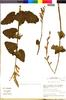 Flora of the Lomas Formations: Salvia tubiflora Ruíz & Pav., Chile, M. O. Dillon 5959, F
