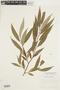 Salix × rubens image