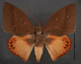 Yagra fonscolombe D dorsal habitus