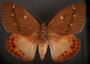 Yagra fonscolombe C dorsal habitus