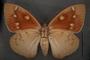 Yagra fonscolombe C ventral habitus