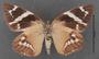 Geyeria decussata A ventral habitus