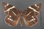 Geyeria decussata B dorsal habitus