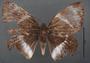 Telchin atymnius futilis D dorsal habitus