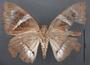 Telchin atymnius futilis D ventral habitus