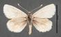 Synemon collecta E dorsal habitus